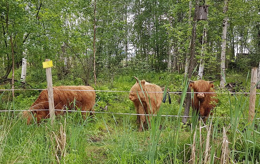 Äijälänrannan highland cattle